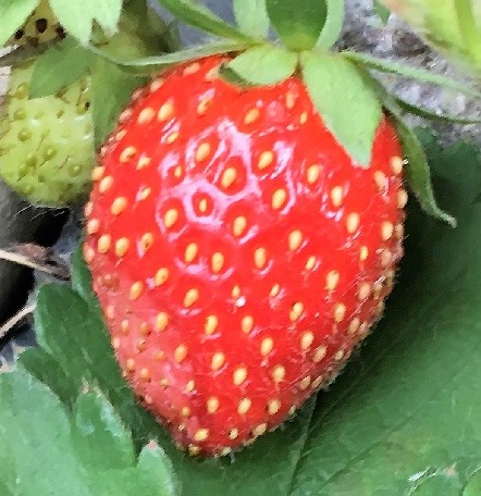 Strawberry on the vine